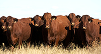 Northern cattle producers