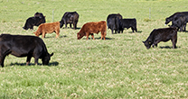 Southern cattle producers