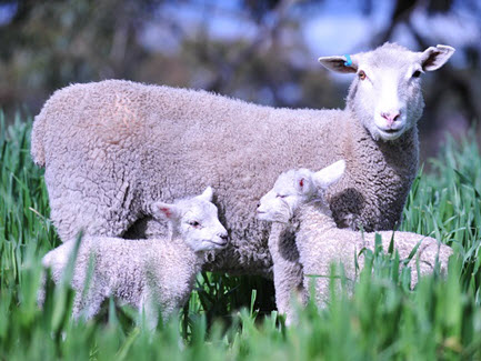 Research challenges thinking on lamb survival