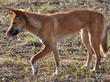 Boost to wild dog support for livestock producers
