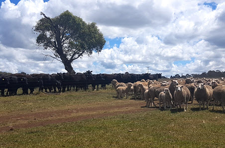 Cattle and sheep prices ease