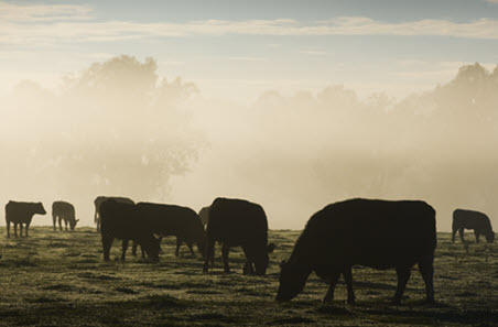 Cattle in mist