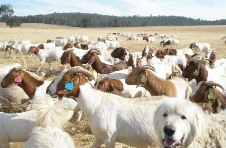 Give goats a go | Meat & Livestock Australia