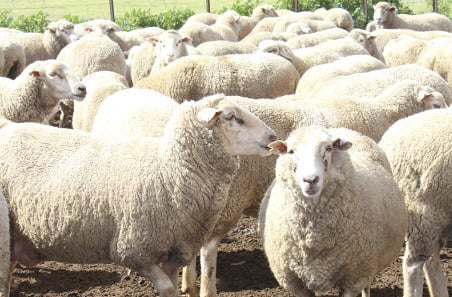 $3 million to deliver health check on South Australia's sheep flock