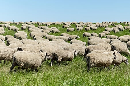 Australian sheep producers perform in profit and productivity