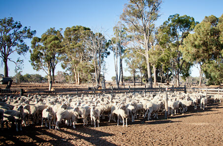 Where are lamb prices headed?