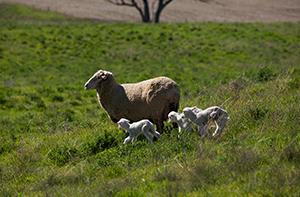 It's ewe time forum   Armidale, NSW   Meat & Livestock Australia