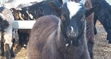 Goat returns complement other livestock
