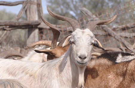 Supplement cost calculator for rangeland goats