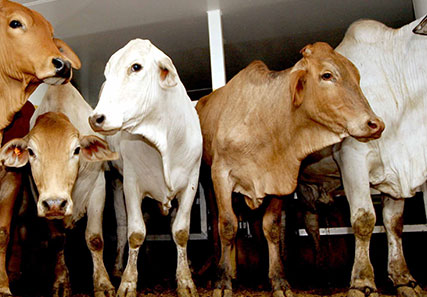Live export and domestic feeder prices converge