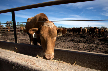 Cattle on feed fall from record highs
