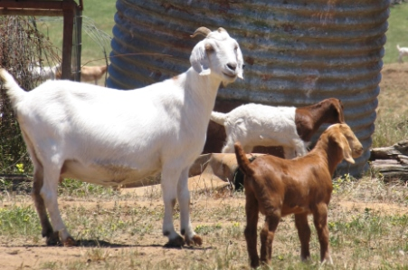 Goat slaughter begins to lift, while prices remain at a record