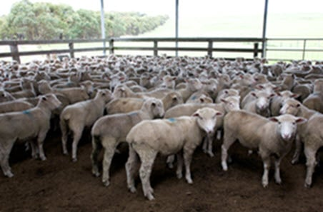 High sheep slaughter to cut into lamb supply