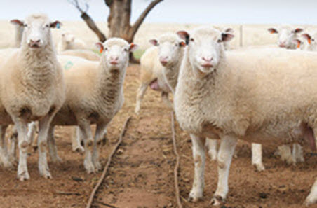 Mutton prices close in on lamb