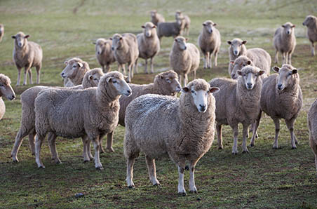 Wool and sheepmeat survey now open!