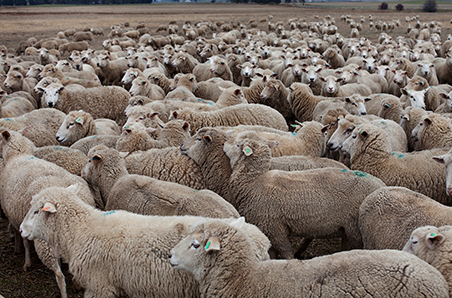 Australian sheepmeat production in growth