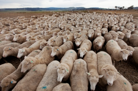 May lamb slaughter eclipses 50-year high