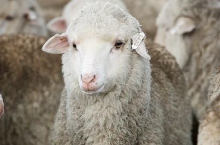 Lamb supply lifts year-on-year