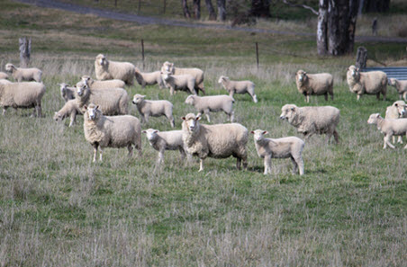 Lamb market update: prices continue to ease