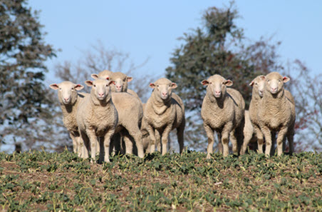 Sheep market fluctuates early