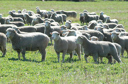 Young ewes find price support
