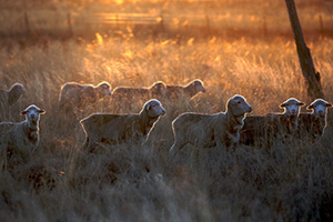 September 2020 Sheep Industry Projections
