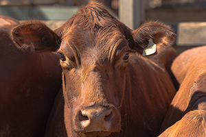 Beef cattle survey
