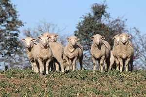 June 2020 Sheep Industry Projections